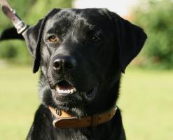 Foto 5 Labrador, Rüde, schwarz, geb. September 2009, sucht neues Zuhause