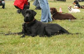 Foto 8 Labrador, Rüde, schwarz, geb. September 2009, sucht neues Zuhause
