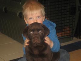 Labrador -Welpen in allen Farben aus Familienzucht !