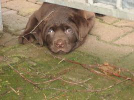 Foto 2 Labrador -Welpen in allen Farben aus Familienzucht !
