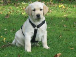 Foto 3 Labrador -Welpen in allen Farben aus Familienzucht !