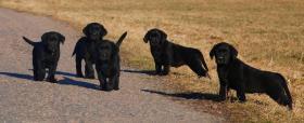 Labrador, schöne schwarze Welpen mit Papiere, sofort zur Abnahme