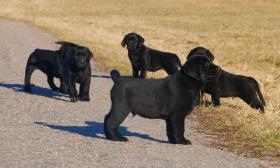 Foto 2 Labrador, schöne schwarze Welpen mit Papiere, sofort zur Abnahme