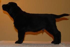 Foto 3 Labrador, schöne schwarze Welpen mit Papiere, sofort zur Abnahme