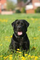 Foto 2 Labradordeckrüde