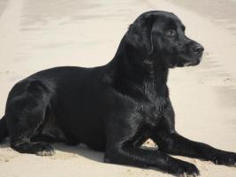 Foto 9 Labradordeckrüde