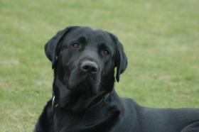 Labradordeckr�de schwarz mit Papieren HD und ED frei