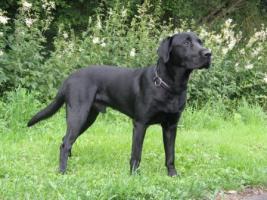Foto 2 Labradordeckr�de schwarz mit Papieren HD und ED frei