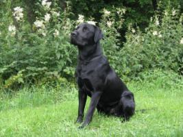 Foto 3 Labradordeckr�de schwarz mit Papieren HD und ED frei