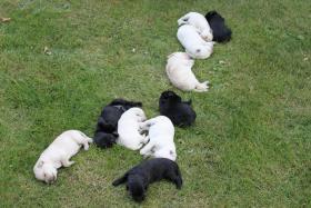 Labradordoodlewelpen