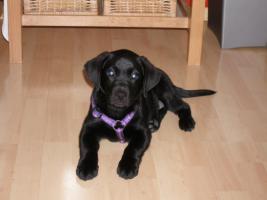 Labradormädchen, reinrassig, 2 Monate schwarz