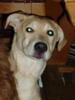 Foto 6 Labradormischlingshündin Luna, 5 Monate, kurzhaar