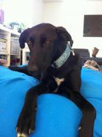 Labradormix Dama sucht ein Zuhause