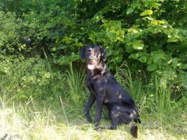 Foto 2 Labradorr�de sucht Labradordame zum decken