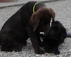 Foto 2 Labradorwelpen !