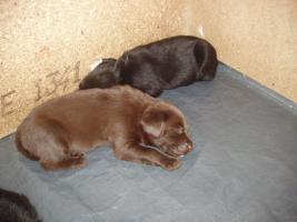 Foto 2 Labradorwelpen