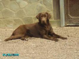 Foto 3 Labradorwelpen