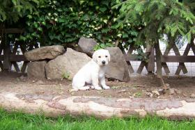 Foto 5 Labradorwelpen