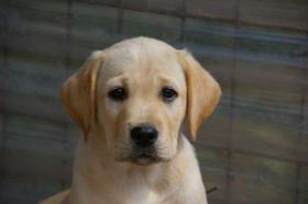 Labradorwelpen mit Papieren in der Farbe blond