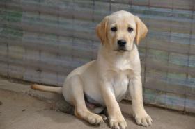 Foto 5 Labradorwelpen mit Papieren in der Farbe blond