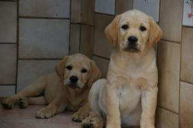 Foto 8 Labradorwelpen mit Papieren in der Farbe blond
