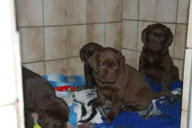 Foto 3 Labradorwelpen mit Papieren in der Farbe braun