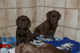 Foto 4 Labradorwelpen mit Papieren in der Farbe braun