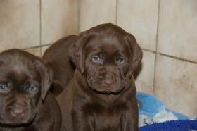 Foto 6 Labradorwelpen mit Papieren in der Farbe braun