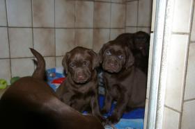 Foto 7 Labradorwelpen mit Papieren in der Farbe braun