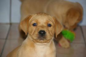 Labradorwelpen mit Papieren in der Farbe foxred und blond