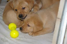 Foto 2 Labradorwelpen mit Papieren in der Farbe foxred und blond