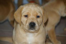 Foto 4 Labradorwelpen mit Papieren in der Farbe foxred und blond