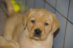 Foto 6 Labradorwelpen mit Papieren in der Farbe foxred und blond