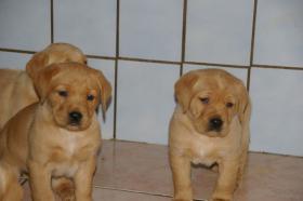 Foto 7 Labradorwelpen mit Papieren in der Farbe foxred und blond