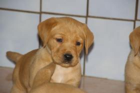 Foto 8 Labradorwelpen mit Papieren in der Farbe foxred und blond
