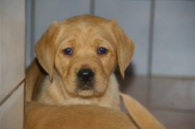 Foto 9 Labradorwelpen mit Papieren in der Farbe foxred und blond