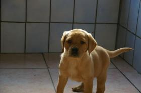 Foto 15 Labradorwelpen mit Papieren in der Farbe foxred und blond
