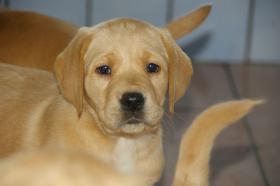 Foto 16 Labradorwelpen mit Papieren in der Farbe foxred und blond