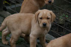 Foto 20 Labradorwelpen mit Papieren in der Farbe foxred und blond