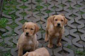 Foto 21 Labradorwelpen mit Papieren in der Farbe foxred und blond