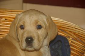 Foto 22 Labradorwelpen mit Papieren in der Farbe foxred und blond
