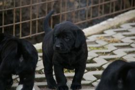 Labradorwelpen mit Papieren in der Farbe schwarz