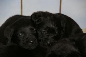 Foto 4 Labradorwelpen mit Papieren in der Farbe schwarz