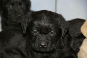 Foto 5 Labradorwelpen mit Papieren in der Farbe schwarz