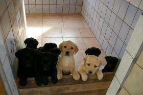 Foto 2 Labradorwelpen mit Papieren in der Farbe schwarz