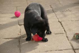 Foto 6 Labradorwelpen mit Papieren in der Farbe schwarz