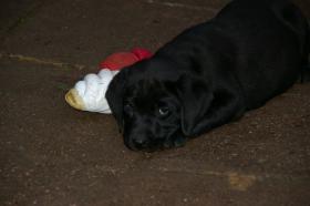 Foto 14 Labradorwelpen mit Papieren in der Farbe schwarz