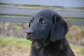 Foto 7 Labradorwelpen mit Papieren in der Farbe schwarz