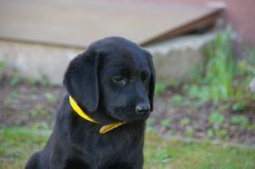 Foto 19 Labradorwelpen mit Papieren in der Farbe schwarz