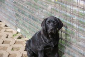 Foto 24 Labradorwelpen mit Papieren in der Farbe schwarz